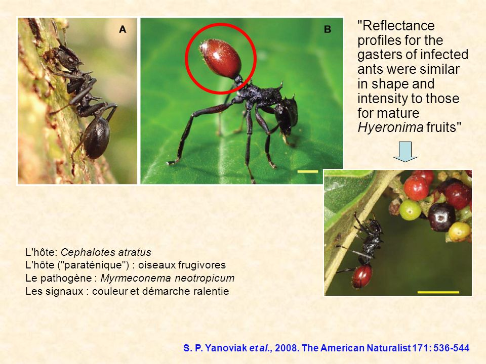 Reflectance profiles for the gasters of infected ants were similar in shape and intensity to those for mature Hyeronima fruits