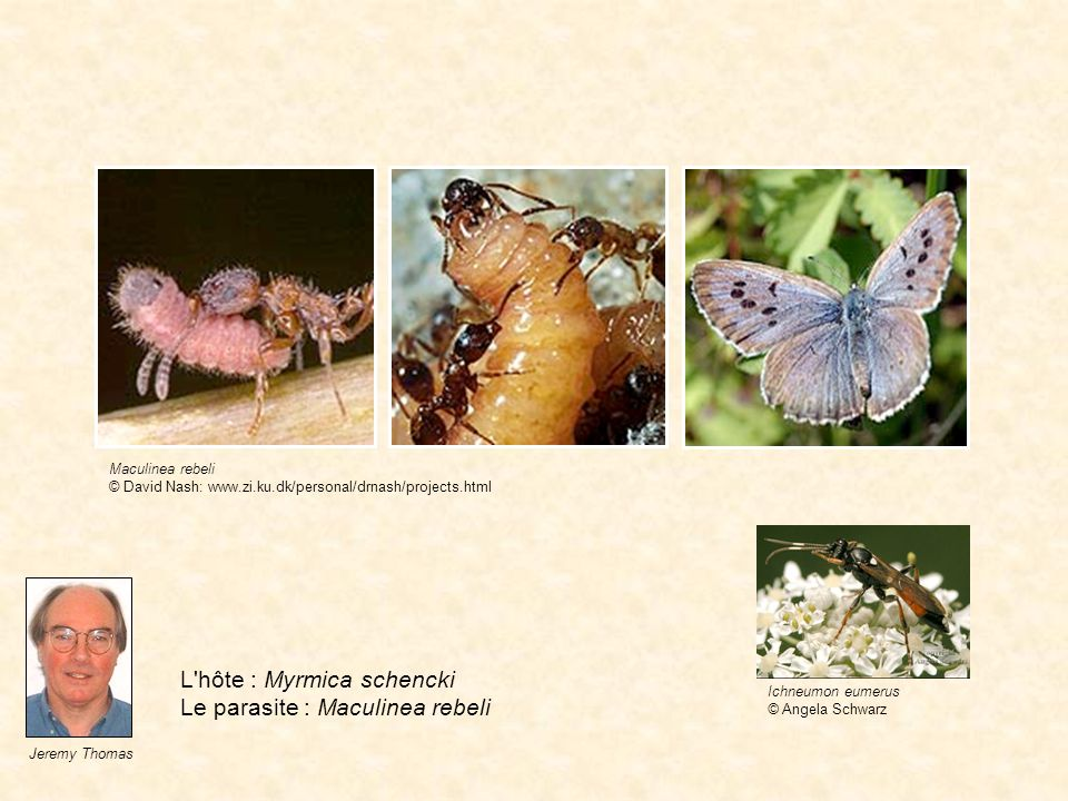 L hôte : Myrmica schencki Le parasite : Maculinea rebeli
