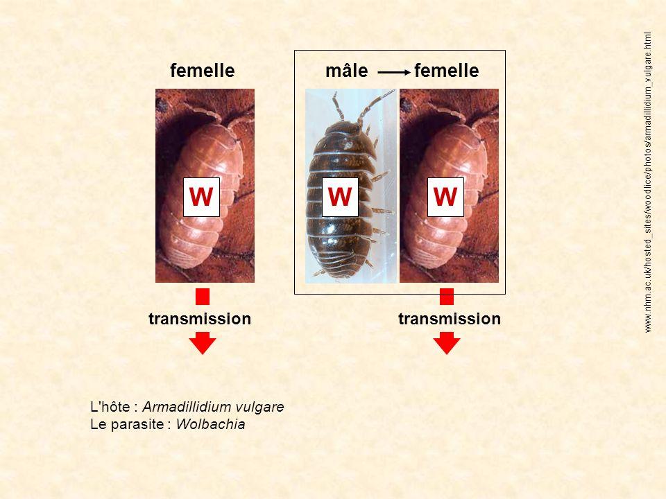 W W W femelle mâle femelle transmission transmission