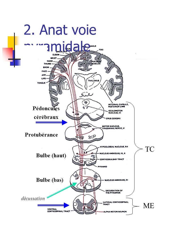 2. Anat voie pyramidale TC ME Pédoncules cérébraux Protubérance