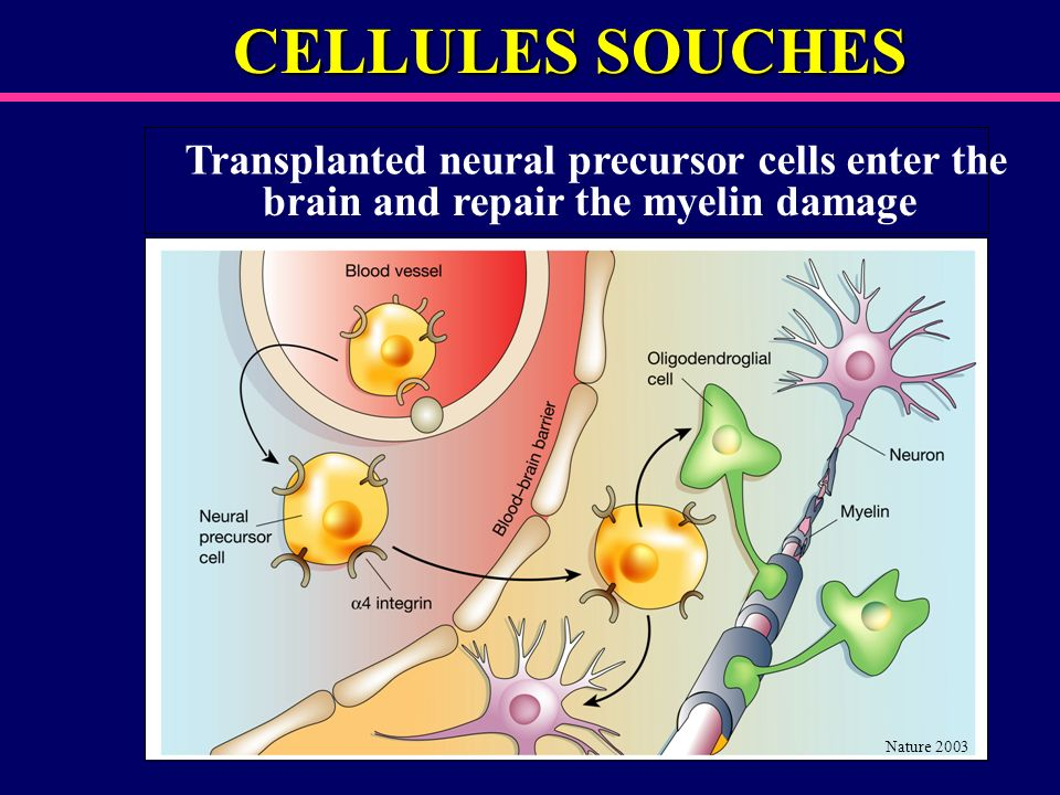 CELLULES SOUCHES Transplanted neural precursor cells enter the