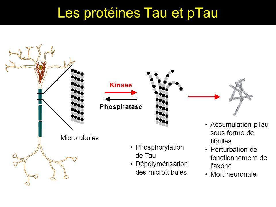 Les protéines Tau et pTau