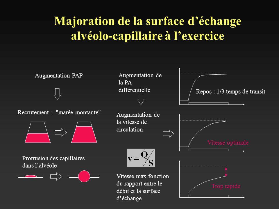 Majoration de la surface d'échange alvéolo-capillaire à l'exercice