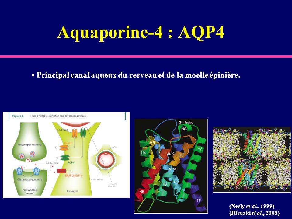 Aquaporine-4 : AQP4 Principal canal aqueux du cerveau et de la moelle épinière. (Neely et al., 1999)