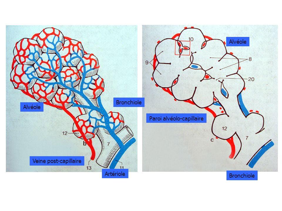 Alvéole Bronchiole Artériole Veine post-capillaire Alvéole Paroi alvéolo-capillaire Bronchiole