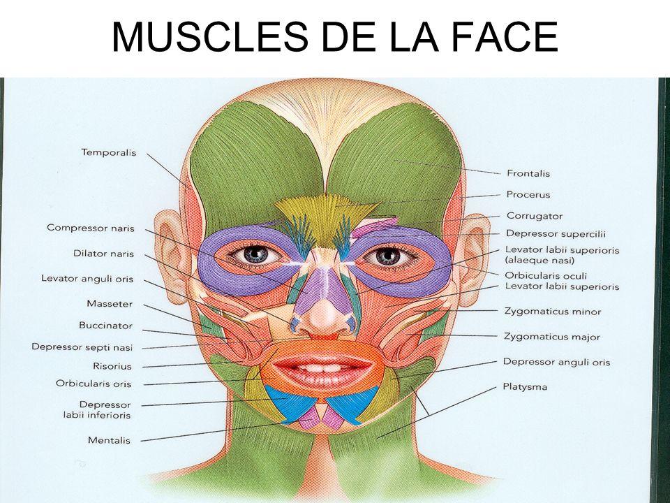 MUSCLES DE LA FACE