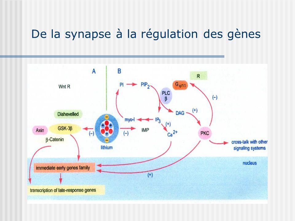 De la synapse à la régulation des gènes