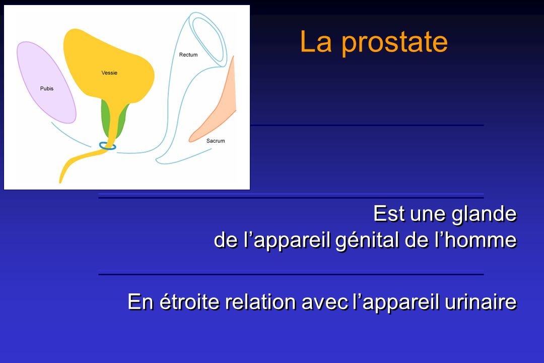 La prostate Est une glande de l'appareil génital de l'homme