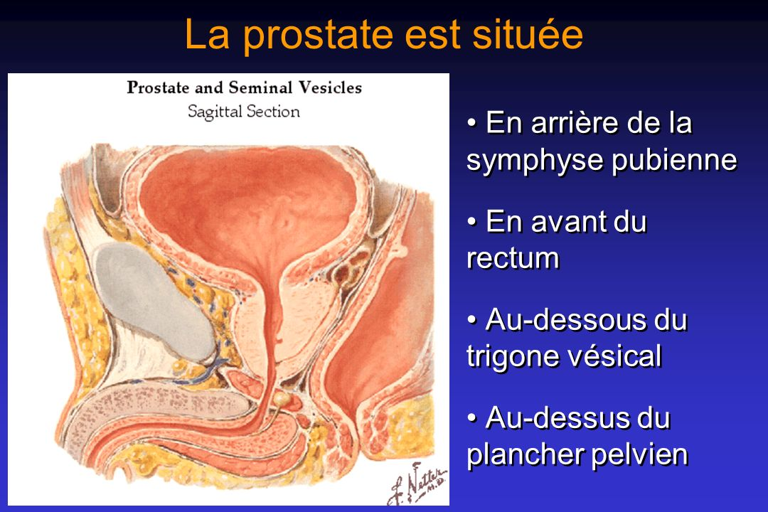 La prostate est située • En arrière de la symphyse pubienne