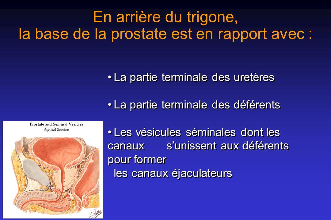 En arrière du trigone, la base de la prostate est en rapport avec :
