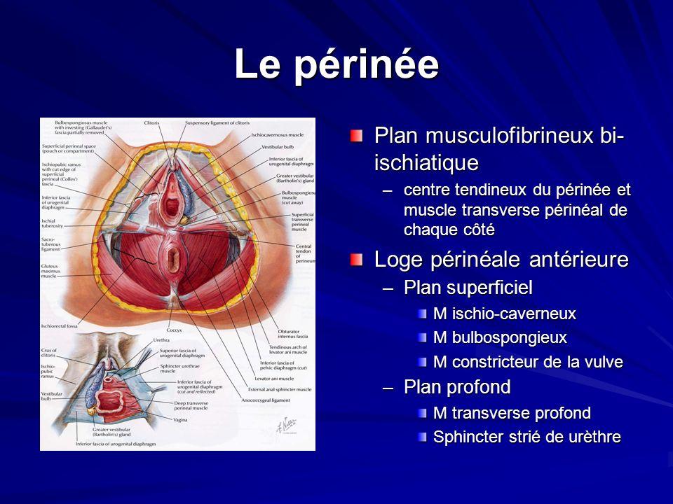 Le périnée Plan musculofibrineux bi-ischiatique