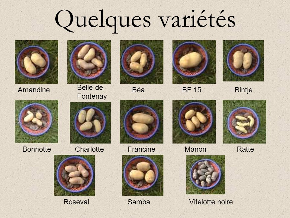 Quelques variétés Belle de Fontenay Amandine Béa BF 15 Bintje Bonnotte