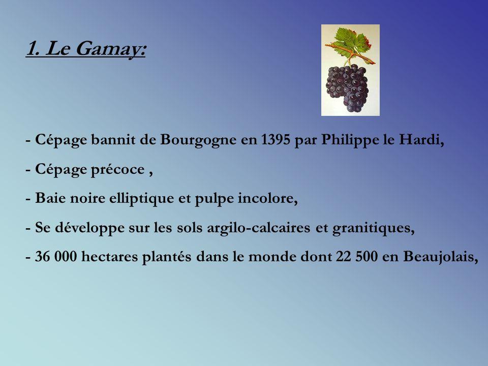 1. Le Gamay: - Cépage bannit de Bourgogne en 1395 par Philippe le Hardi, - Cépage précoce , - Baie noire elliptique et pulpe incolore,