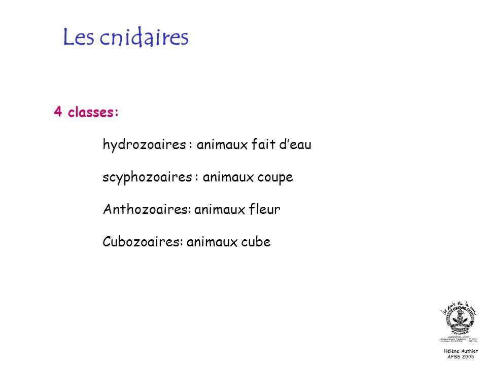 Les cnidaires 4 classes: hydrozoaires : animaux fait d'eau