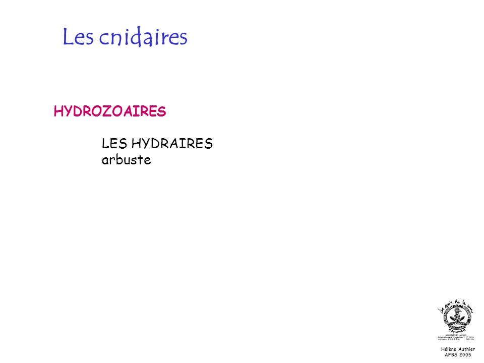 Les cnidaires HYDROZOAIRES LES HYDRAIRES arbuste Les hydrozoaires:
