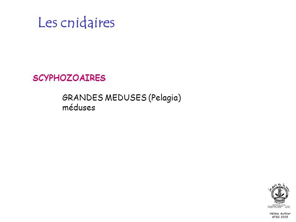 Les cnidaires SCYPHOZOAIRES GRANDES MEDUSES (Pelagia) méduses