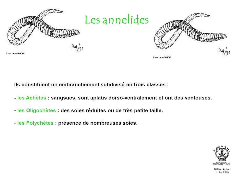 Les annelides Ils constituent un embranchement subdivisé en trois classes :