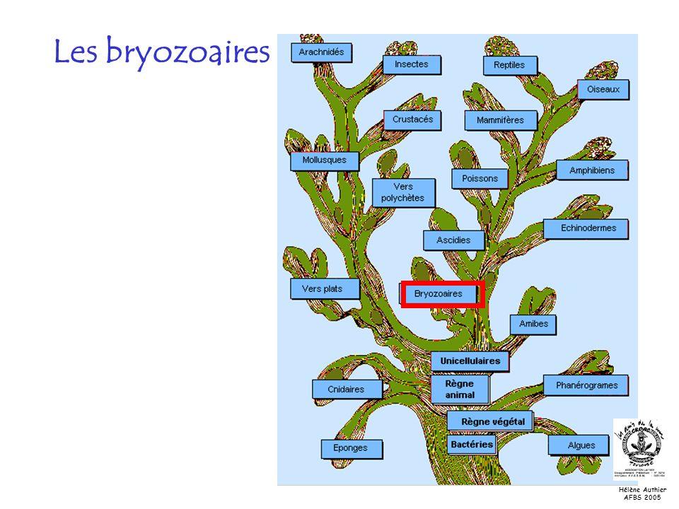 Les bryozoaires