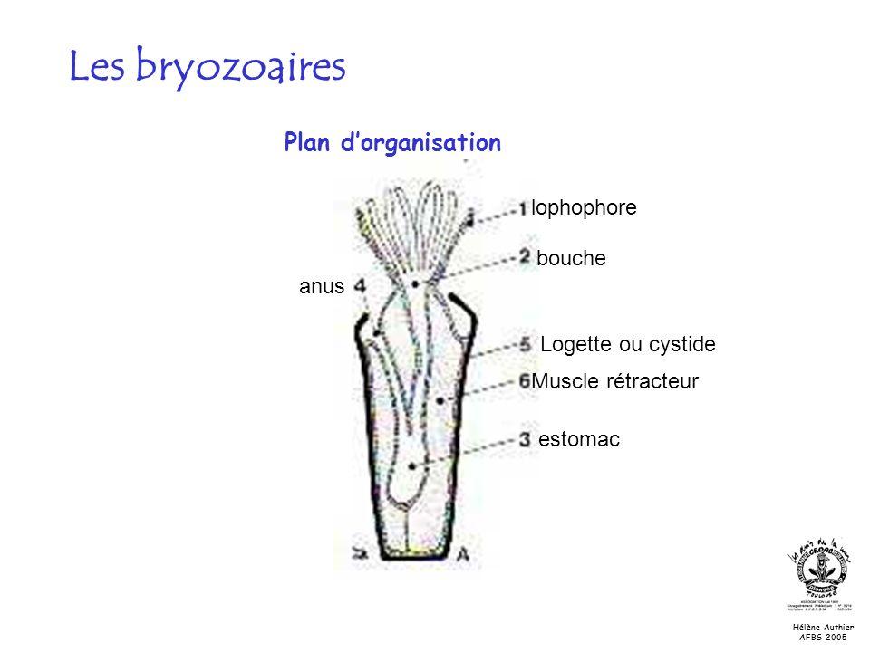 Les bryozoaires Plan d'organisation lophophore bouche anus