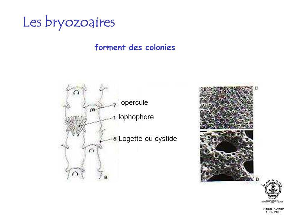 Les bryozoaires forment des colonies opercule lophophore