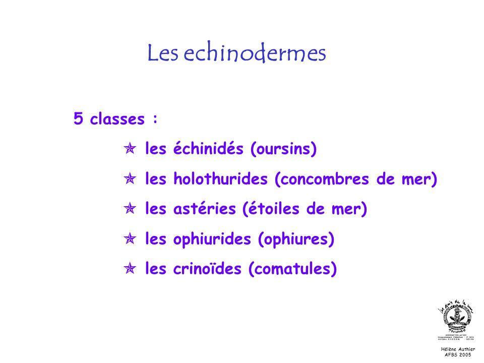 Les echinodermes 5 classes :  les échinidés (oursins)