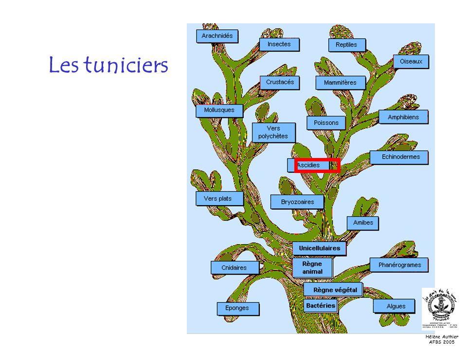 Les tuniciers