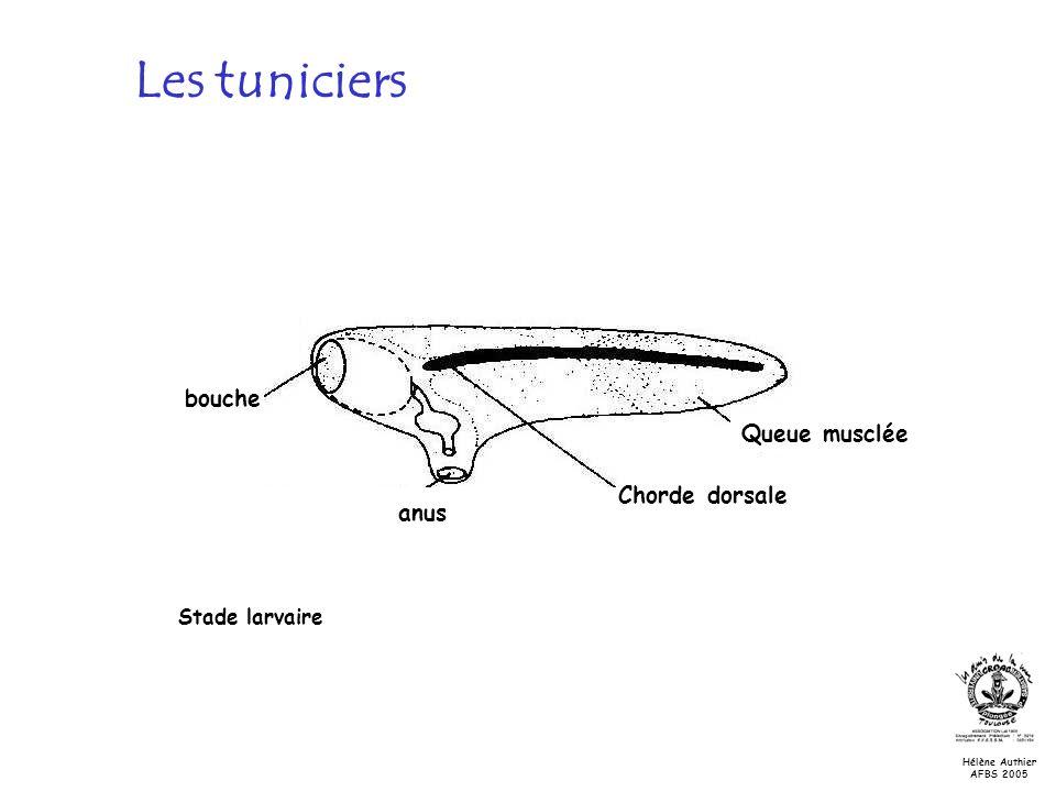 Les tuniciers bouche Queue musclée Chorde dorsale anus Stade larvaire