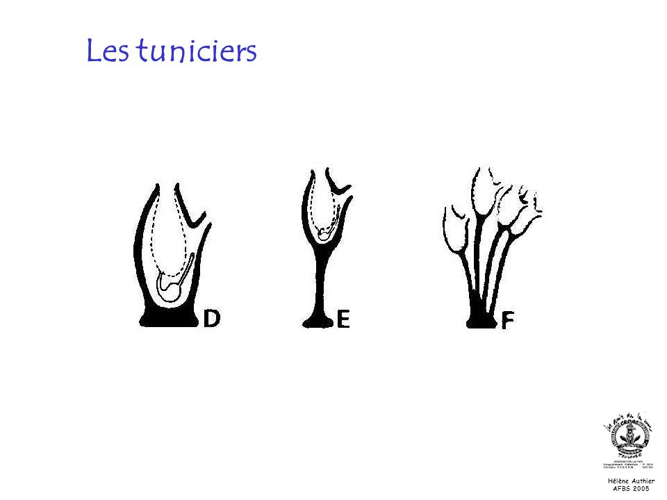 Les tuniciers 3) Reproduction