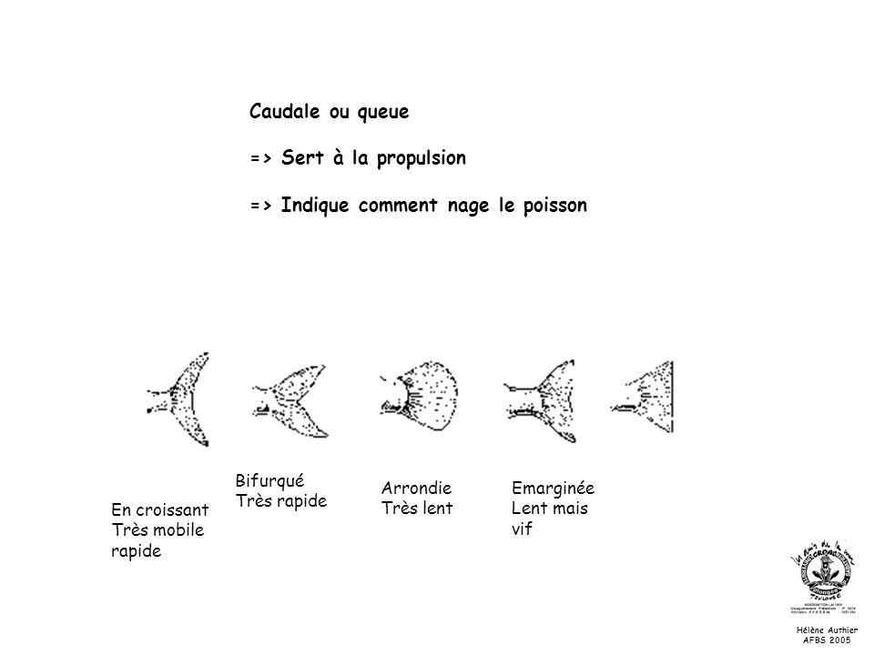 => Sert à la propulsion => Indique comment nage le poisson