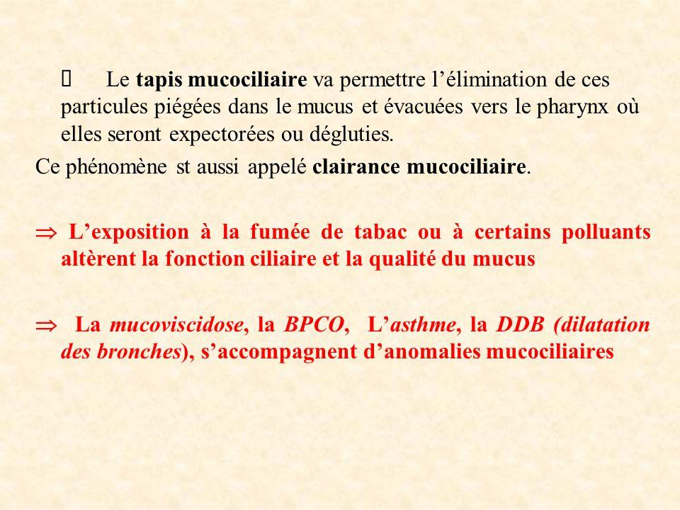 Ø Le tapis mucociliaire va permettre l'élimination de ces particules piégées dans le mucus et évacuées vers le pharynx où elles seront expectorées ou dégluties.