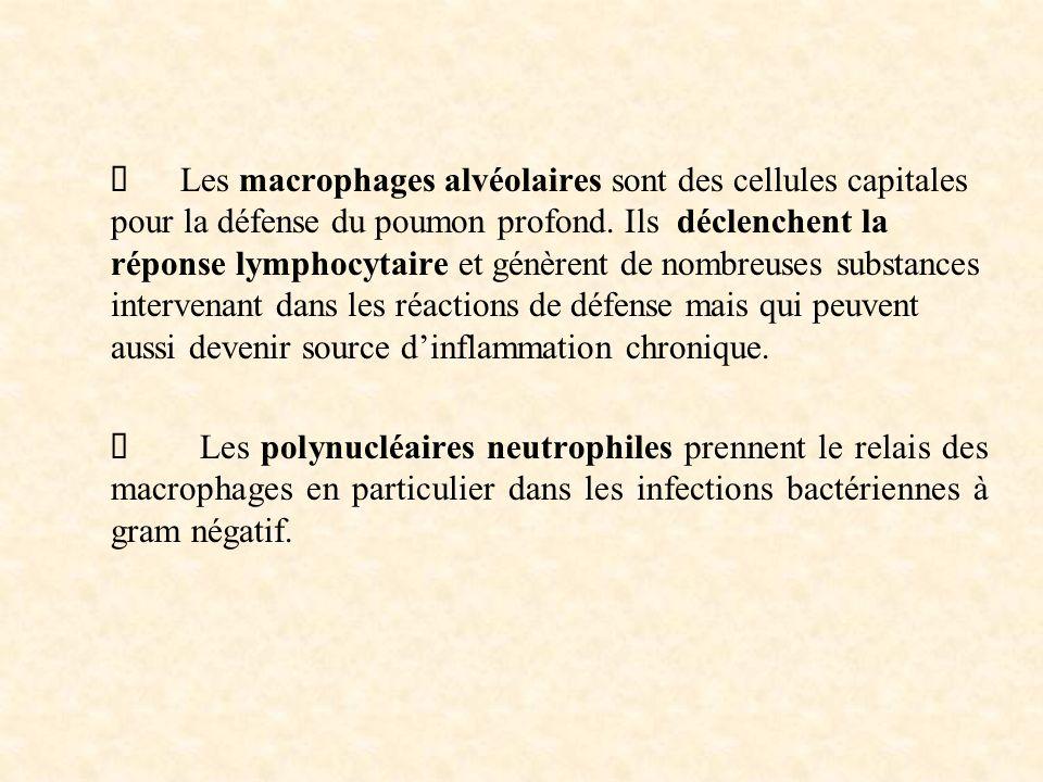 Ø Les macrophages alvéolaires sont des cellules capitales pour la défense du poumon profond. Ils déclenchent la réponse lymphocytaire et génèrent de nombreuses substances intervenant dans les réactions de défense mais qui peuvent aussi devenir source d'inflammation chronique.