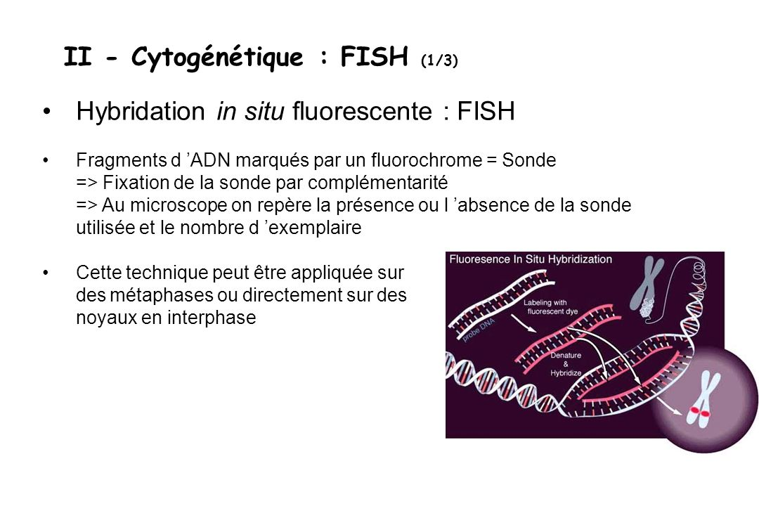II - Cytogénétique : FISH (1/3)