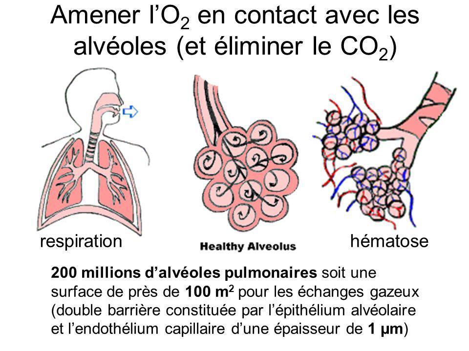 Amener l'O2 en contact avec les alvéoles (et éliminer le CO2)