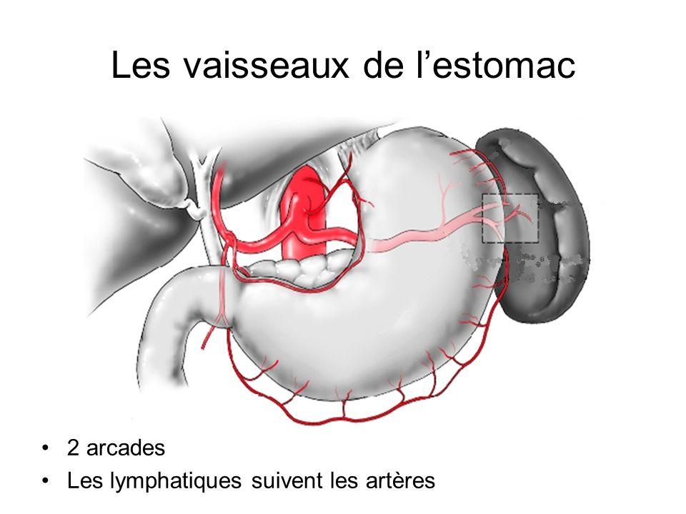 Les vaisseaux de l'estomac