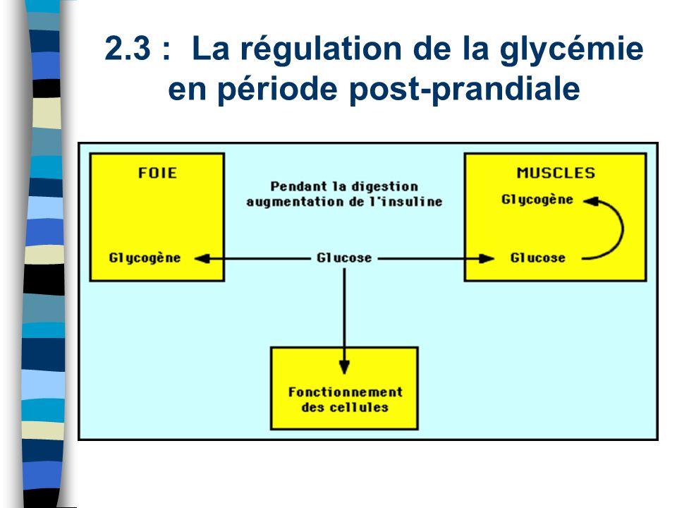 2.3 : La régulation de la glycémie en période post-prandiale