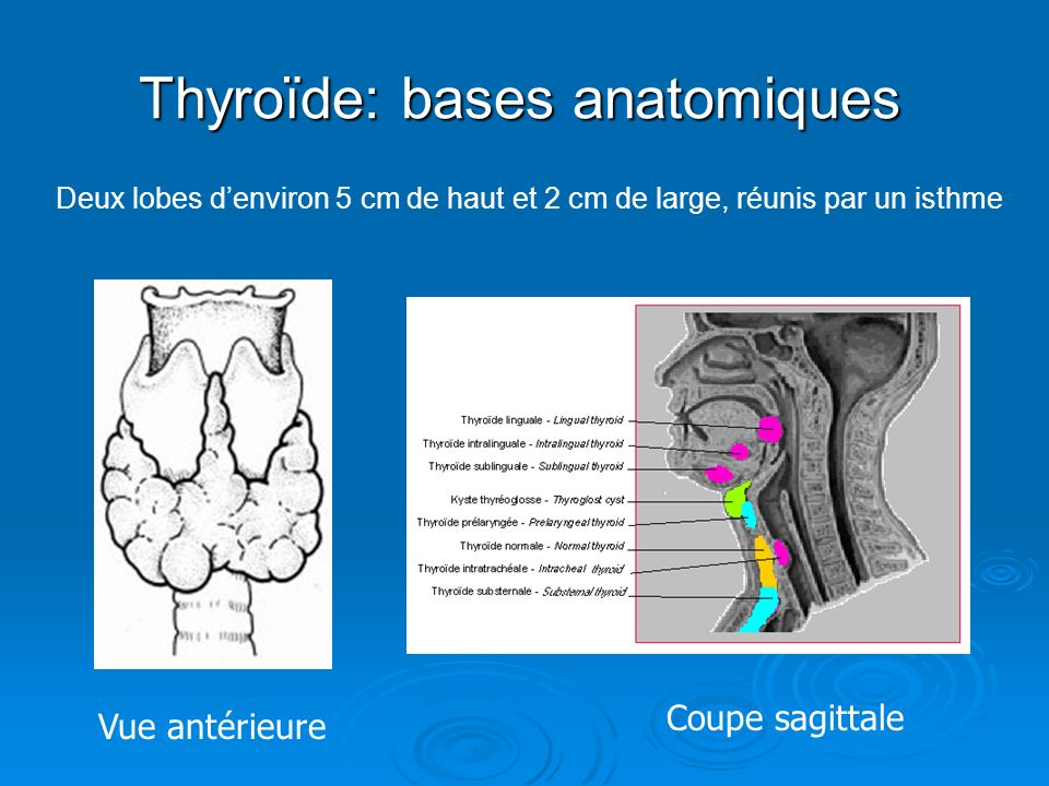 Thyroïde: bases anatomiques