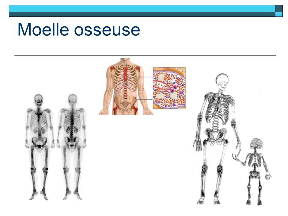 Moelle osseuse