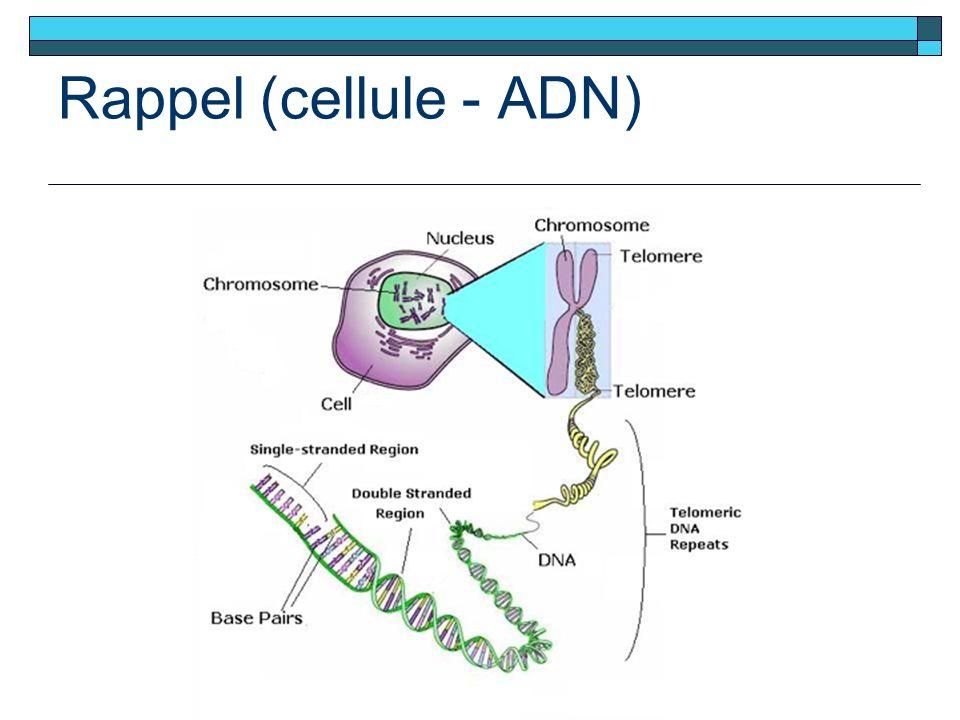 Rappel (cellule - ADN)