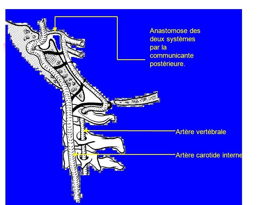 Anastomose des deux systèmes par la communicante postérieure.
