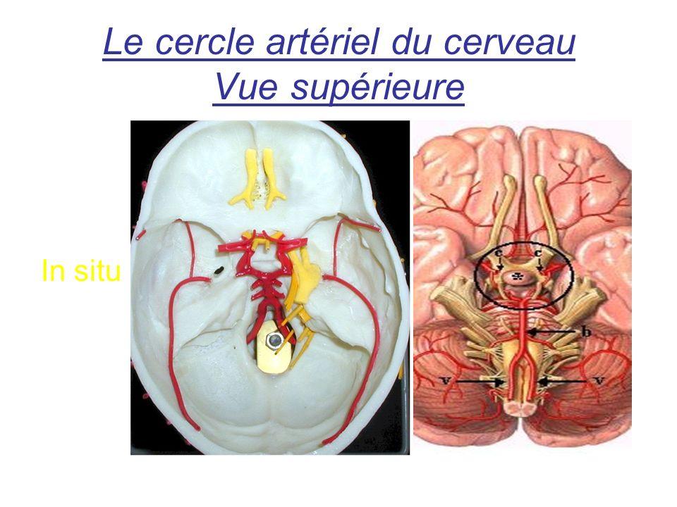 Le cercle artériel du cerveau Vue supérieure