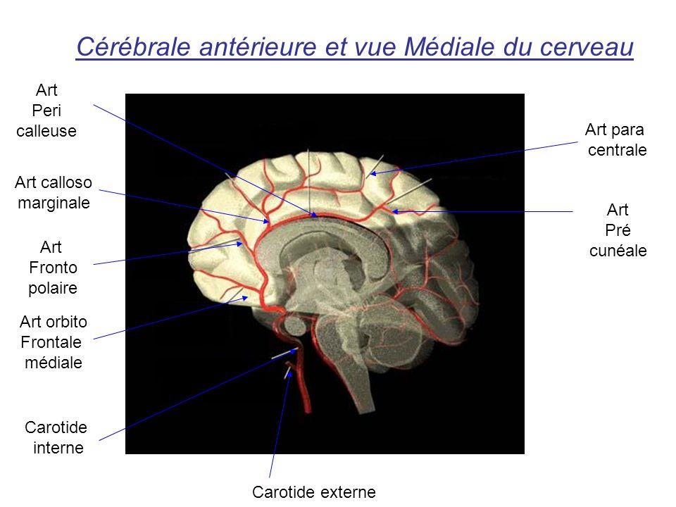 Cérébrale antérieure et vue Médiale du cerveau