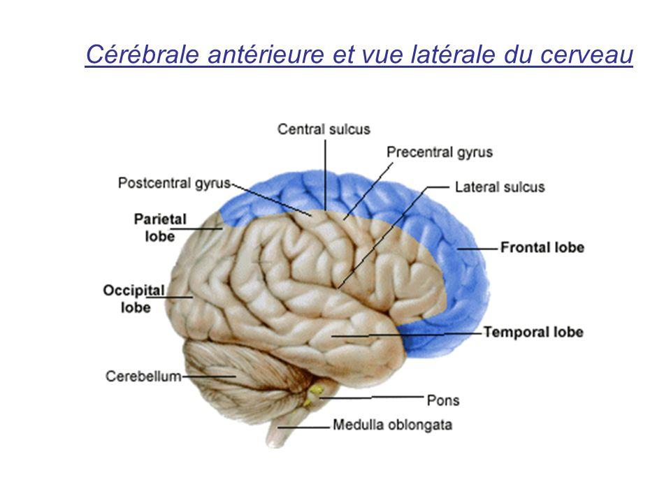 Cérébrale antérieure et vue latérale du cerveau