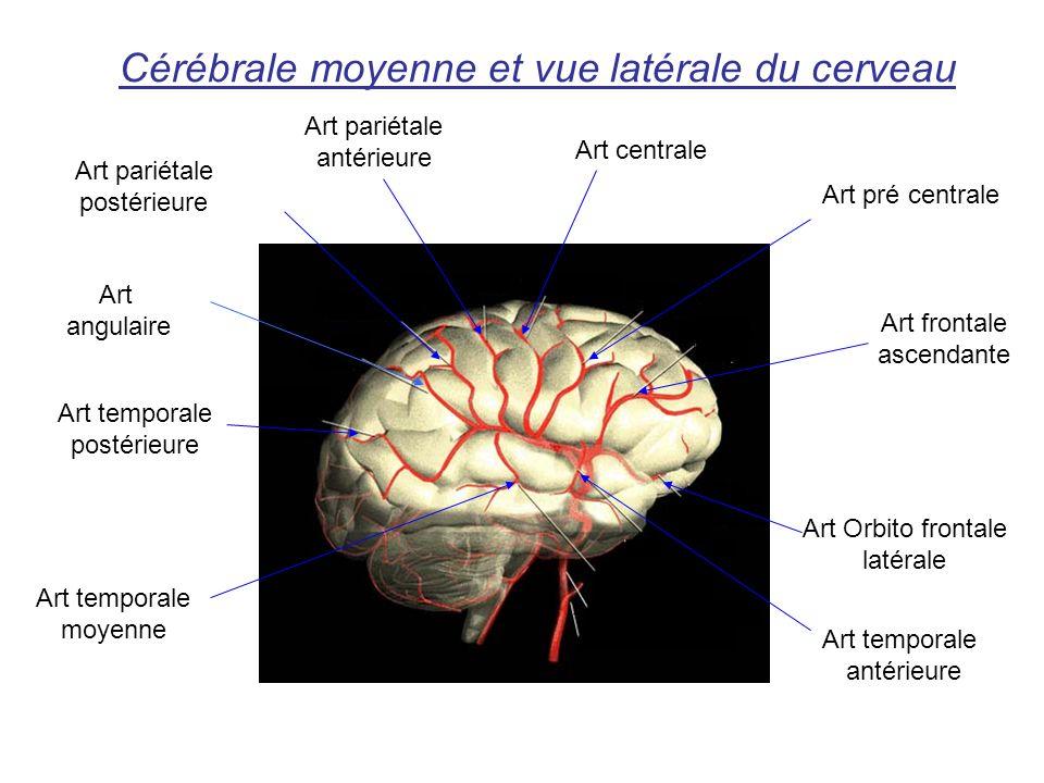 Cérébrale moyenne et vue latérale du cerveau