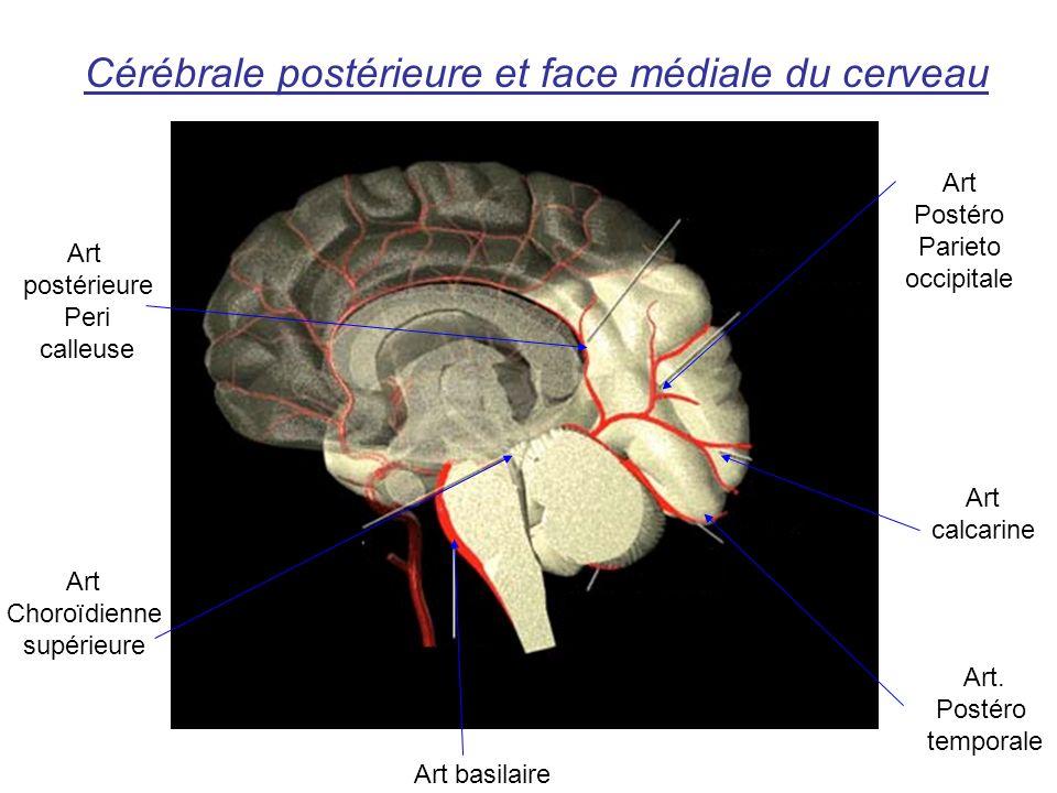 Cérébrale postérieure et face médiale du cerveau