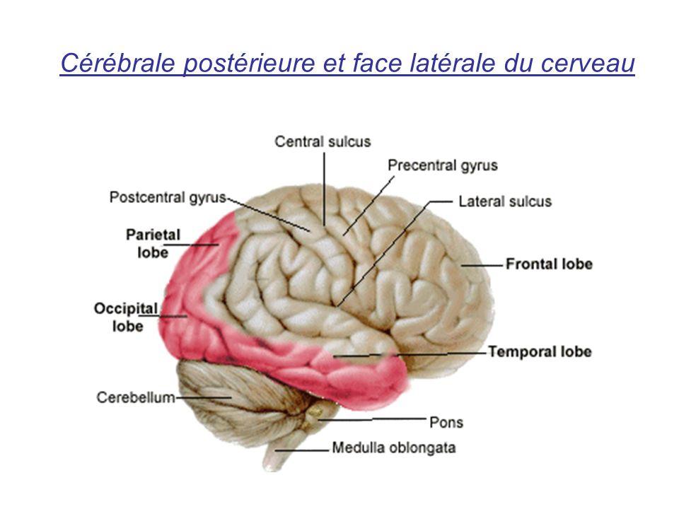 Cérébrale postérieure et face latérale du cerveau