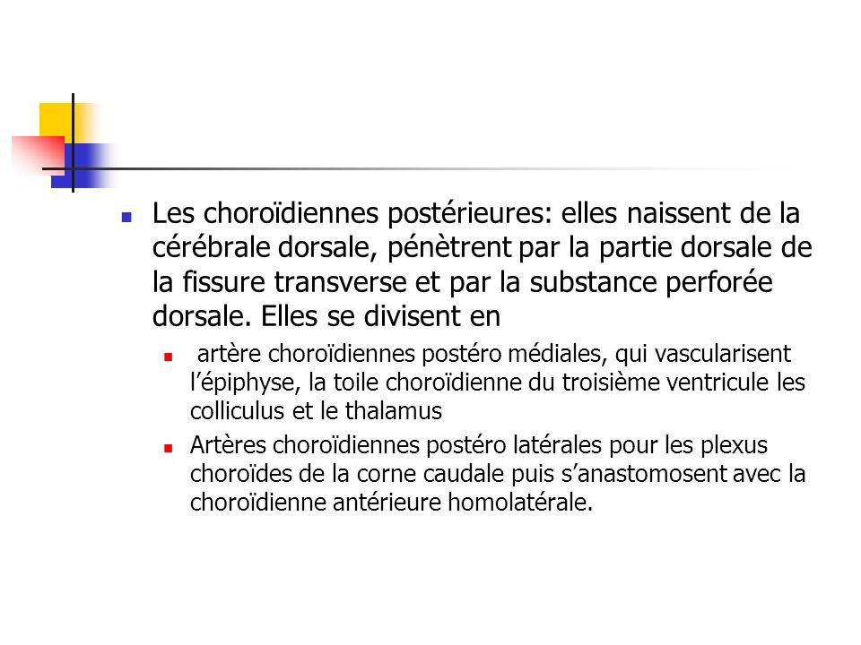 Les choroïdiennes postérieures: elles naissent de la cérébrale dorsale, pénètrent par la partie dorsale de la fissure transverse et par la substance perforée dorsale. Elles se divisent en