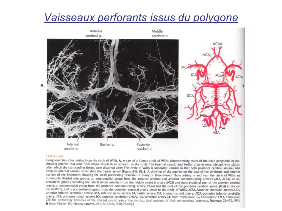 Vaisseaux perforants issus du polygone