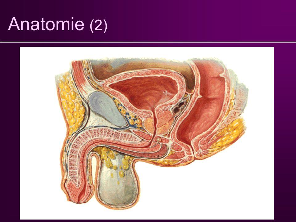 Anatomie (2) Vessie Sphincter strié Sphincter lisse Urètre Prostate