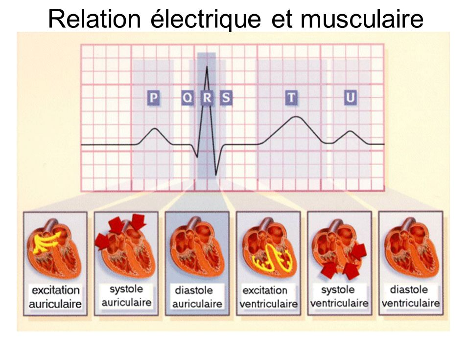 Relation électrique et musculaire