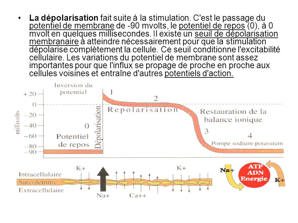 La dépolarisation fait suite à la stimulation